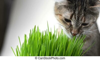 Happy cat eating fresh green grass on bright background