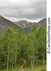 Trail Into Aspen Copse - trail into an aspen tree copse in...
