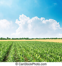 green maize field and blue sky with clouds