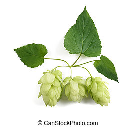 hop ( Humulus lupulus ) - hops cones isolated on white...