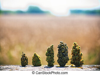 Assorted dried cannabis buds in a line over natural...