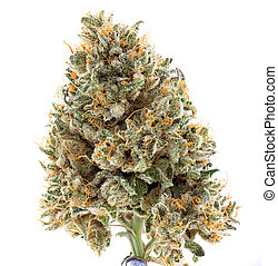 Dried cannabis flower (mangolope strain) isolated over white...