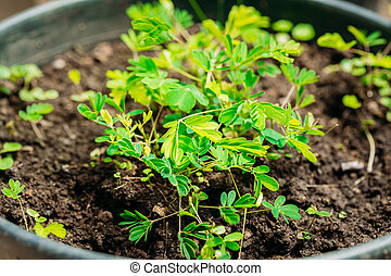 Green Sprouts Of Mimosa Pudica Growing From Soil In Pot In...