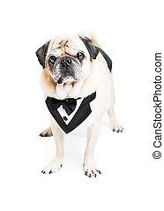 Fancy Pug Dog in Tuxedo Vest