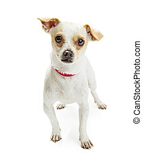 Chihuahua Crossbreed Red Collar - Cute Chihuahua crossbreed...