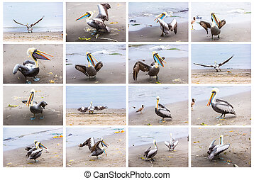 Collage of pelicans on Ballestas Islands,Peru South America...
