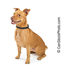 Large Crossbreed Well-Behaved Dog - Large mixed bully breed...