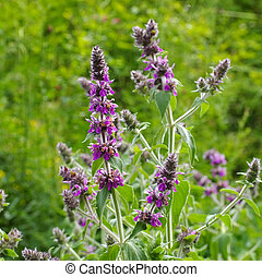Stachys persica, a plant from lambs ears