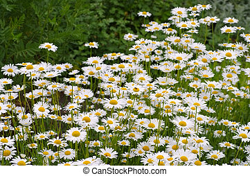 Leucanthemum vulgare, the ox-eye daisy in garden