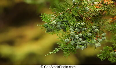Many cones on the same branch - Anomalously large number of...