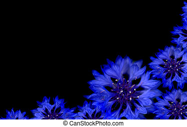 blue cornflower spring border with black copyspace - blue...