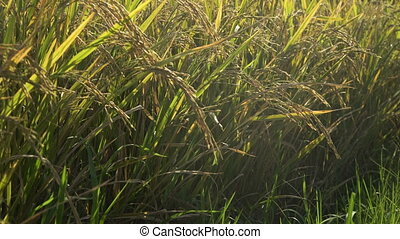 Green rice field. - Rice plant in paddy field. Rice field...