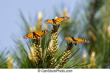 Monarch Butterflies Perched on Monterey Cypress Tree -...