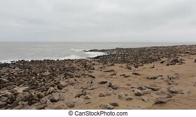 huge colony of Brown fur seal - sea lions, Namibia, Africa...