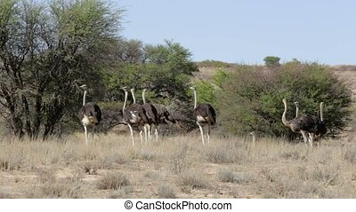 Ostrich, Kgalagadi, South Africa, safari wildlife - Ostrich,...