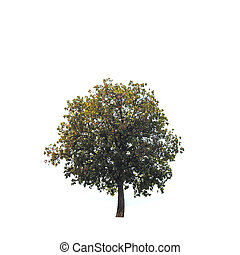Big and high tree on the hill isolated on white background
