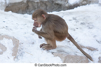 Baby baboon sitting on a rock, eating something