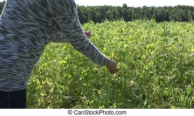 Farmer woman hands harvest ripe peas pods in rural farm plantation.