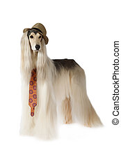 Afghan hound in the hat and tie - Afghan hound dog (eight...