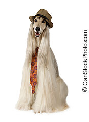 Afghan hound in the hat and tie over white - Afghan hound...