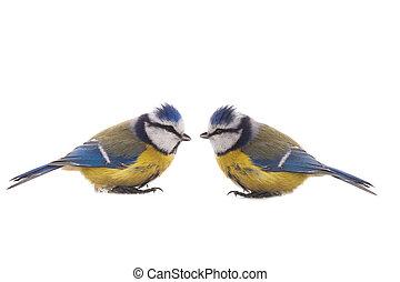 Eurasian Blue Tit - Two Eurasian Blue Tit (Cyanistes...
