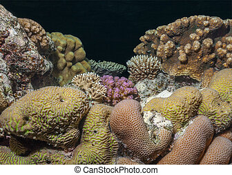 Hard coral biodiversity. Night scene with multiple hard...