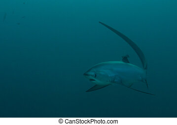 Thresher shark approaching - One thresher shark approaching,...