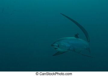 tiburón, trilladora, Se acercar