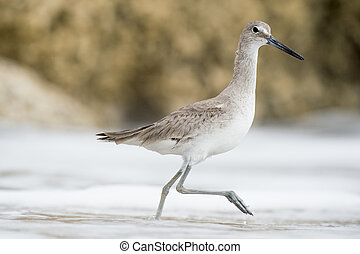 Willet Walking in Shallow Water - A Willet walks in the...