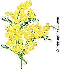 Yellow acacia blossom branch flower. Isolated on white...