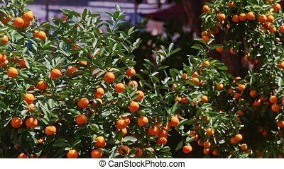 Mandarin Trees Tops on Street Market at Bright Sunlight -...