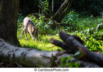 Wild wolf in the forest at sunset