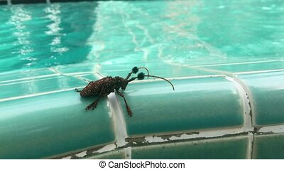 Beetle near pool - Big beetle near swimming pool