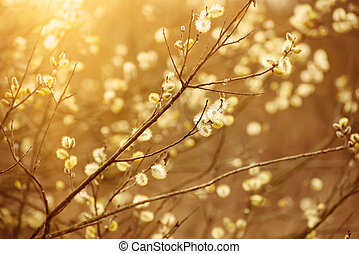 Blooming willow branch in springtime, seasonal sunny easter...