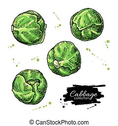 cabbage - Brussel sprout hand drawn vector illustrations....