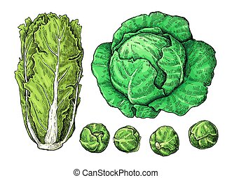 cabbage recolor - Cabbage hand drawn vector illustrations...