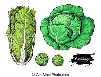 cabbage - Cabbage hand drawn vector illustrations set....