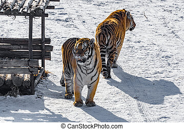 Two tigers on the road. - Two tigers at sunny winter day...