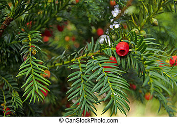 Yew Tree close up - View of the berries on a evergreen yew...
