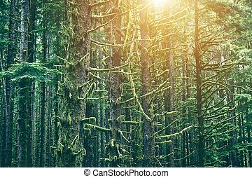 Mossy Northwest Forest. Washington State Olympic Peninsula...