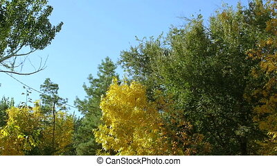 Trees in autumn on a background of blue sky. - View of the...