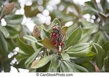 Magnolia Tree (Magnolia grandiflora) - Close up of southern...