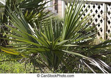 Palmetto Bush - Close up of a palmetto bush