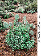 Prickly pear cactus in the desert of Arizona, USA - Prickly...