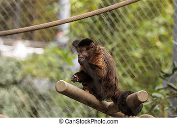 Tufted capuchin monkey of the genus Cebus apella apella sits...
