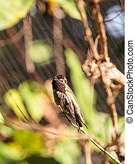 Male Annas Hummingbird Calypte anna - Male Annas...