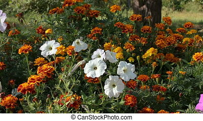 Petunia flowers and marigold in a flowerbed.