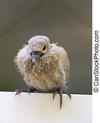 Pigeon chick sitting in the cadge of shelter home