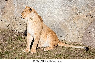 Lioness resting in het natural habitat, selective focus
