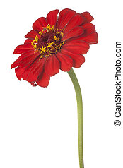 zinnia flower isolated - Studio Shot of Red Colored Zinnia...